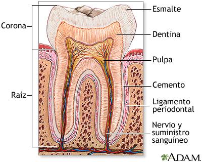 Gráfico partes del diente